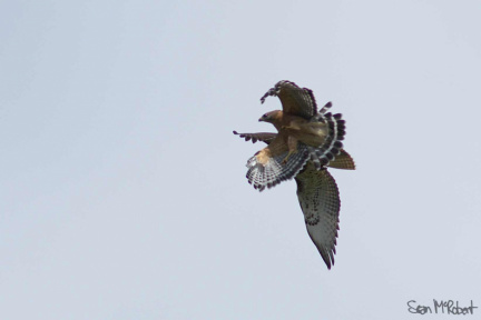 Juvinile Red-tailed Hawk Mobbed by Red-houldered Hawk